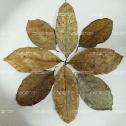 DECOTOP Jackfruit S – Листья джекфрута, 15-20 см, 10 шт.