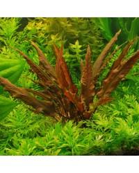 Аквариумные растения Криптокорины
