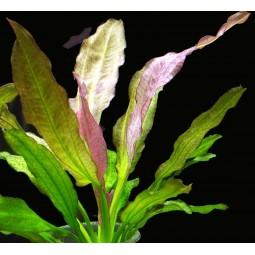 Эхинодорус Ориентал (Echinodorus Oriental)