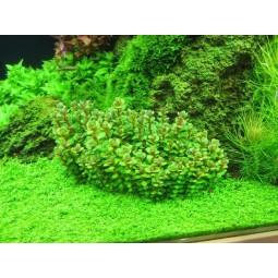 "Аммания Бонсай (Ammania sp. ""Bonsai"") (пучок 3 ветки)"