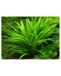 Аквариумные растения Эхинодорусы