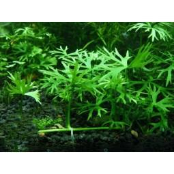 Водный лютик (Ranunculus inundatus) (пучок 7 корней)
