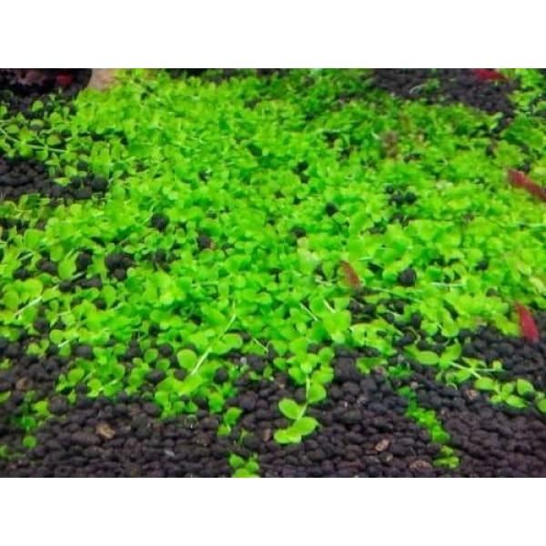 Микрантемум Монте Карло (Micranthemum sp. Monte Carlo)
