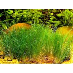 Ситняг крошечный (Eleocharis parvula)