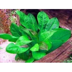 """Эхинодорус мелкоцветный Тропика – Echinodorus parviflorus """"Tropica"""""""