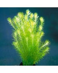 Аквариумные растения длинностебельные