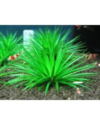 Аквариумные растения Кустовые