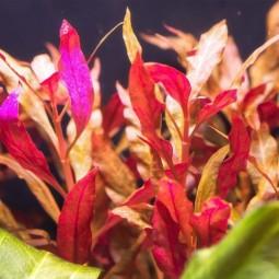 Альтернантера (Alternanthera rosaefolia) (3 ветки)