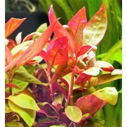 Альтернантера лиловая (Alternanthera lilacina) (пучок 3 ветки)