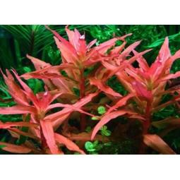 Аммания изящная (Ammannia gracilis) (5 веток)