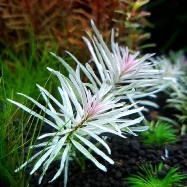 Белая Людвигия(Ludwigia sp White)