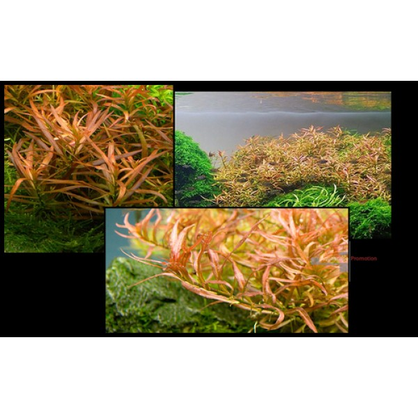 Людвигия бривипес (Ludwigia brevipes)