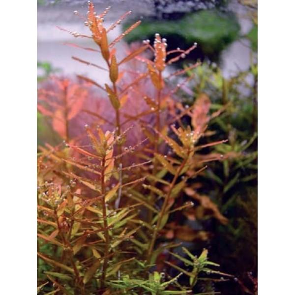 Ротала круглолистная `Апельсиновый сок (Rotala rotundifolia `Orange Juice)