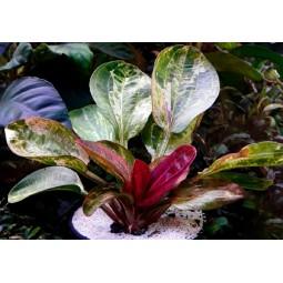 Echinodorus Hadi Red Pearl, эхинодорус Красный жемчуг