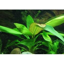ЭХИНОДОРУС АРГЕНТИНСКИЙ (Echinodorus argentinensis)