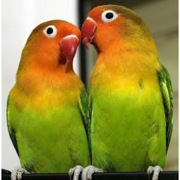 Попугай неразлучник, пара зеленого цвета