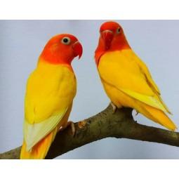 Попугай неразлучник, пара желтого цвета