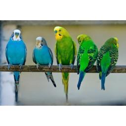 Попугай волнистый, самец